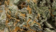 Buy Cracker Jack Marijuana Strain