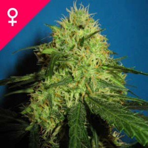 Buy Big Bud Feminized Seeds
