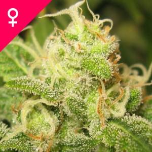 Buy Ice Feminized Cannabis Seeds