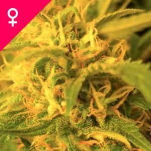 Buy Northern Lights Feminized Seeds