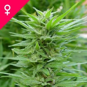 Buy Pure Power Plant Feminized Seeds