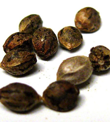 example-of-viable-cannabis-seeds-ready-for-germination